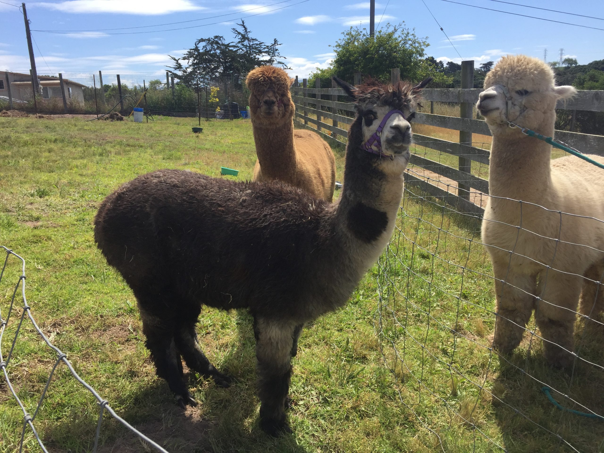 Shearing Day: time to lose the fur coat!