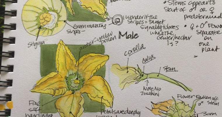 Extra-ordinary: Squash blossoms